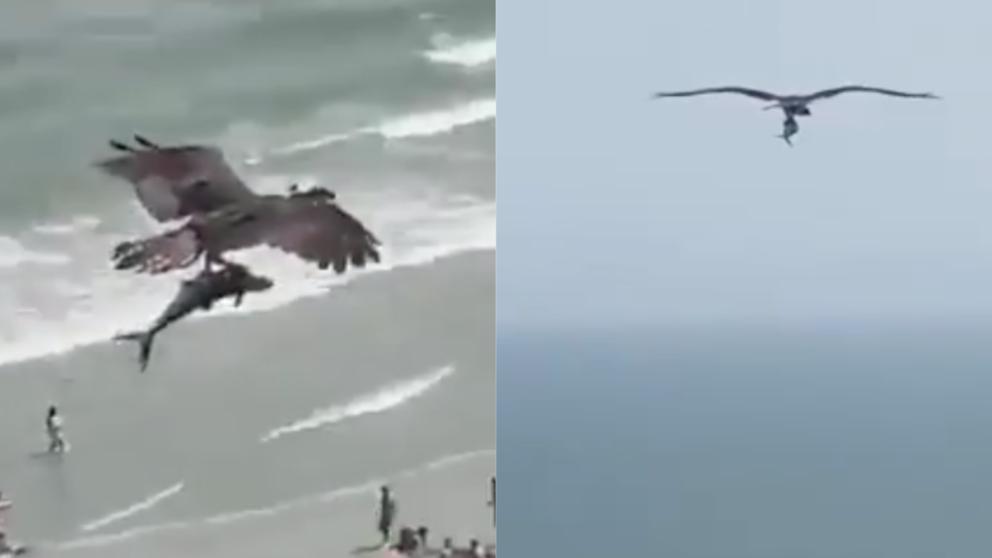 El espectacular vídeo que muestra cómo un águila se lleva a un pequeño tiburón entre sus garras