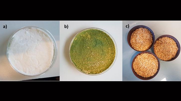 Producción de biopesticidas a partir de cáscara de arroz y los hongos Beauveria bassiana y Trichoderma harzianum
