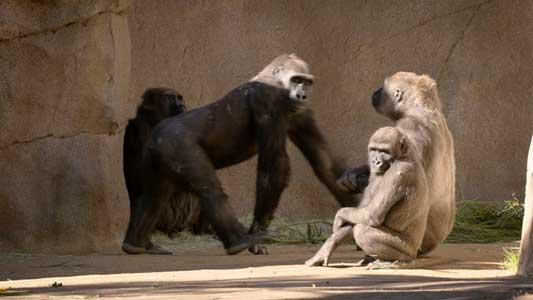 Primeros casos de Covid-19 en gorilas