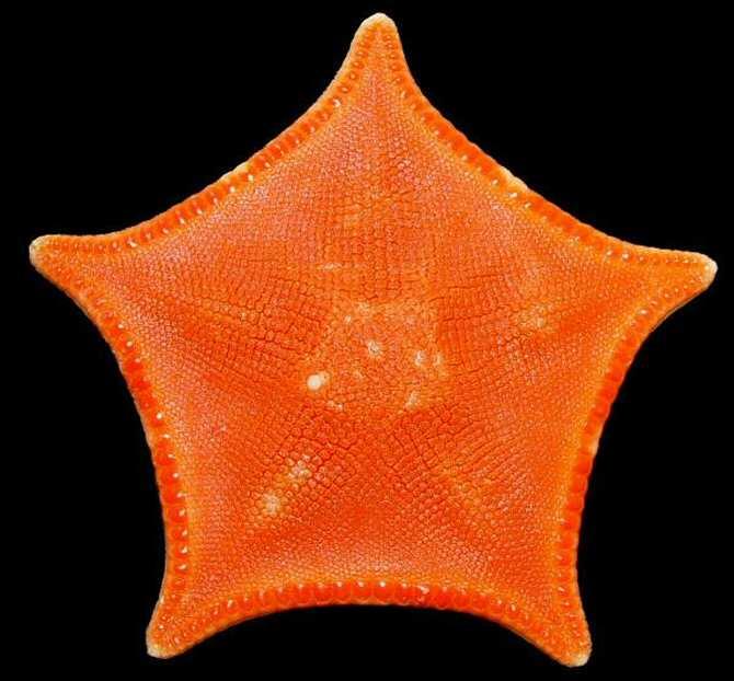 Nuevos compuestos anticáncer descubiertos en una estrella de mar