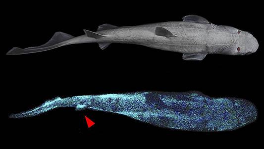 Tiburones que brillan en la oscuridad ¿Por qué? Los investigadores descubrieron que, en las tres especiesbioluminiscentes , la melatonina desencadena el resplandor, el melanocito alfa lo estimula y la corticotrofina lo apaga.