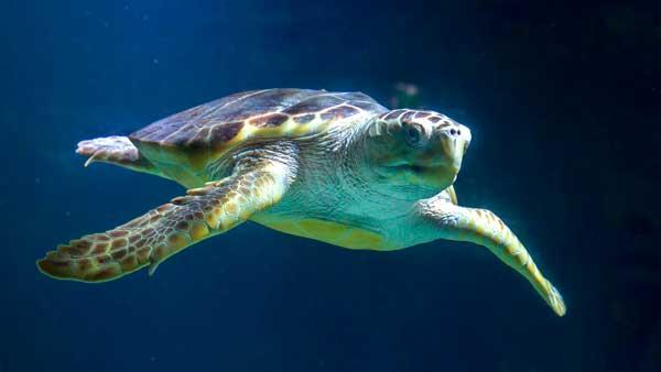 ¿Cómo logran las tortugas migrar 14.500 km a través de gélidas aguas?